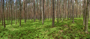 Panoramic picture of spring pine forest. Panoramic picture of spring pine (Pinus sylvestris) forest. Groundcover with bilberry (Vaccinium myrtillus Stock Image