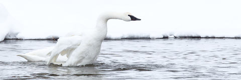 Panoramic picture of a strutting trumpeter swan Royalty Free Stock Photos