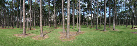 Panoramic pine forest Royalty Free Stock Photos