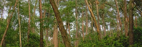Panoramic spruce forest detail in Flanders. Panoramic pine forest detail in Kalmthout, Flanders, Belgium royalty free stock image