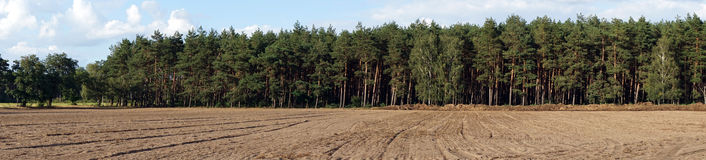 Panoramic pine tree forest Royalty Free Stock Image