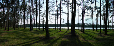 Panoramic Pine Trees. A panoramic of pine trees at dusk stock photo