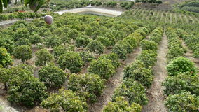 Panoramic in a plantation of mango tropical fruit full of fruit trees. Mangoes tropical fruit hanging at tree, panoramic stock video