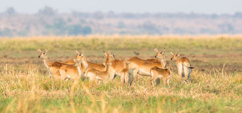Panoramic of red lechwe herd. At attention Royalty Free Stock Photography