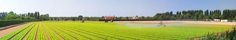 Panoramic salad field Royalty Free Stock Image
