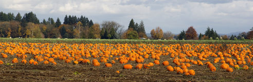 Panoramic Scene Farm Field Pumpkin Patch Vegetables Ripe Harvest Royalty Free Stock Image