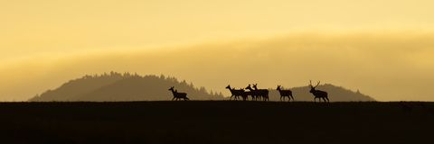 Panoramic scenery of red deer herd walking on a horizon at sunrise. Panoramic scenery of red deer herd, cervus elaphus, walking on a horizon at sunrise. Dark stock images