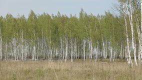 Birch Forest at Spring. Panoramic shot of birch forest at spring stock footage