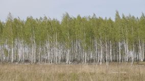 Birch Forest at Spring. Panoramic shot of birch forest at spring stock video