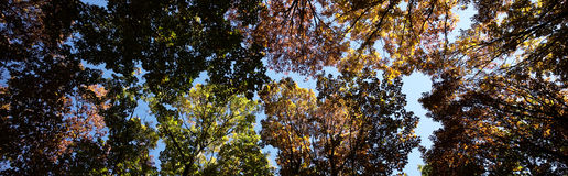 Panoramic shot of golden-leaved trees Stock Photography