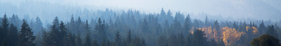 Panoramic shot of mysterious misty pine tree forest with yellow spot Royalty Free Stock Image
