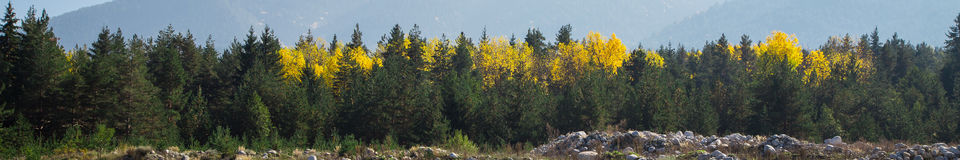 Panoramic shot of mysterious misty pine tree forest with yellow spot Stock Photography