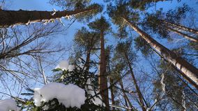 Treetops in winter forest on sunny day. Panoramic shot of the treetops in winter forest stock video