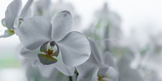 Beautiful white orchid in a panoramic shot stock photo