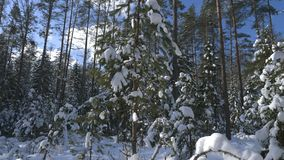 Shot of winter forest and snow-covered trees stock footage