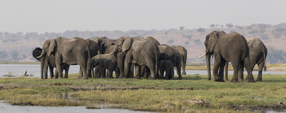 Panoramic side shot of elephants crossing the choebe river in south africa Royalty Free Stock Image