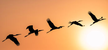 Panoramic Silhouette of Painted Stork flying against the setting. Sun in a warm October evening Royalty Free Stock Photo