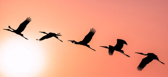Panoramic Silhouette of Painted Stork flying against the setting. Sun in a warm October evening Stock Image