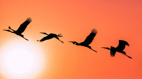 Panoramic Silhouette of Painted Stork flying against the setting Stock Image