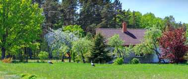 Panoramic spring landscape. Two storks are walking near the village house. Panoramic spring landscape. Kurzeme, Latvia Stock Photography