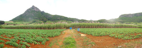 Panoramic sugar cane in Mauritius. Sugar cane and vegetable fields by the mountain side in Mauritius royalty free stock image