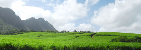 Panoramic sugar cane in Mauritius Royalty Free Stock Images
