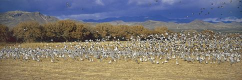 A panoramic of thousands of migrating snow geese and Sandhill cranes taking flight over the Bosque del Apache National Wildlife Re Royalty Free Stock Photos
