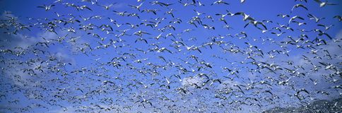 A panoramic of thousands of migrating snow geese and Sandhill cranes taking flight over the Bosque del Apache National Wildlife Re Stock Photography