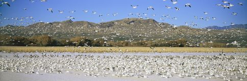 A panoramic of thousands of migrating snow geese and Sandhill cranes taking flight over the Bosque del Apache National Wildlife Re Royalty Free Stock Image