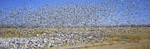 A panoramic of thousands of migrating snow geese taking flight over the Bosque del Apache National Wildlife Refuge, near San Anton Stock Photography