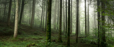 Panoramic of tree trunks Royalty Free Stock Image