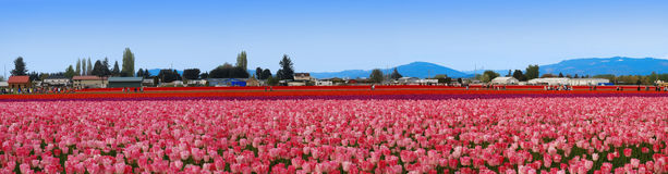 Panoramic tulip field Royalty Free Stock Photos