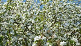 Blossoming apple fruit trees in orchard in springtime. Panoramic video shot of blossoming apple fruit trees in orchard in springtime stock video footage