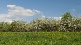 Blossoming apple fruit trees in orchard in springtime. Panoramic video shot of blossoming apple fruit trees in orchard in springtime stock footage
