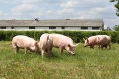 Panoramic view of an animal farm rural scene. Herd of pigs breeding on animal farm summertime Stock Images