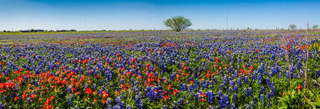 A Panoramic View of a Beautiful Field of Texas Wildflowers. A Wide Angle High Resolution Panoramic View of a Beautiful Field Covered with Texas Bluebonnets and Stock Photography