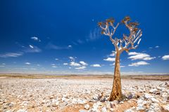 Panoramic view of a beautiful quiver tree Aloe dichotoma in Fish River Canyon Nature Park. In Namibia, Africa. The succulent tree is indigenous to Southern Stock Photos