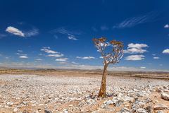 Panoramic view of a beautiful quiver tree Aloe dichotoma in Fish River Canyon Nature Park in Namibia, Africa. The succulent tree is indigenous to Southern Stock Images