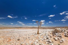 Panoramic view of a beautiful quiver tree Aloe dichotoma in Fish River Canyon Nature Park in Namibia, Africa. The succulent tree is indigenous to Southern Stock Photography