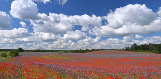 Panoramic view of beautiful summer field of phacelia and poppy seed flowers Royalty Free Stock Photo