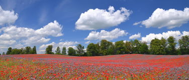 Panoramic view of beautiful summer field of phacelia and poppy seed flowers Royalty Free Stock Images