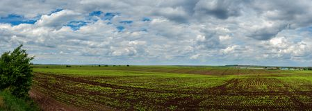 Panoramic view on beet, sugar field with sky. Panoramic view on beet, sugar field with cloudly sky stock photo