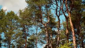 Panoramic view of blue sky and green tip of pine trees stock video footage