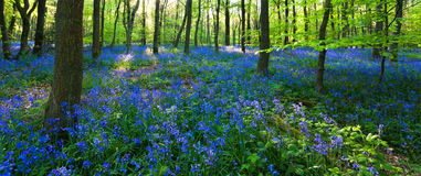 Panoramic view of a bluebell wood royalty free stock photos
