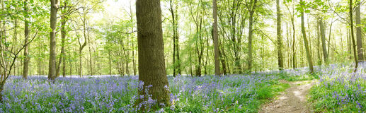Panoramic view of bluebells Stock Image