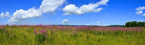 Panoramic view of bright summer meadow with blooming Fireweed. Or Chamaenerion angostifolium - medicinal herb on the top of hill at bright summer day with stock image