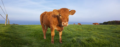 Panoramic view of brown cow Royalty Free Stock Photos
