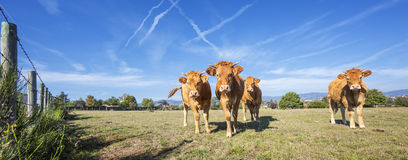 Panoramic view of brown cows Royalty Free Stock Photo