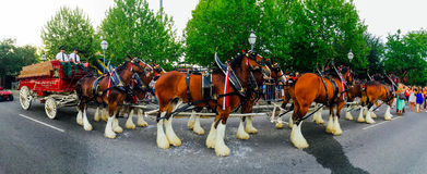 Panoramic View of the Budweiser Clydesdale. Royalty Free Stock Photos
