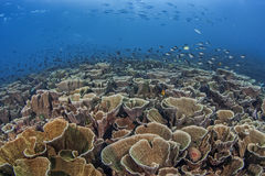 Panoramic View of Cabbage Coral Reef Stock Images